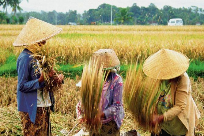 Farmers harvesting rice, Bali, Indonesia